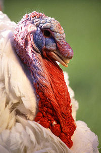 397px-Large_White_turkey_male