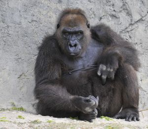1212776_gorilla_thinking