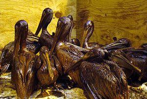 Gulf-Oiled-Pelicans-June-3-2010