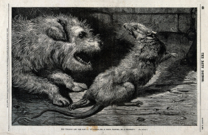 A_terrier_dog_has_chased_a_rat_into_a_corner_and_is_about_to_Wellcome_V0021375