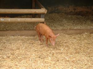 米兜彩票电脑版Pigs-1-1458531